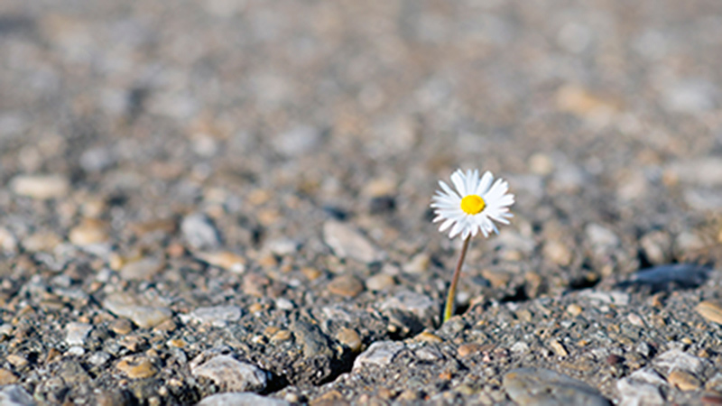 A hopeful-looking daisy peeping out of a crack in a road