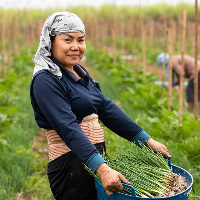 Group of Asian women farmers harvesting onions on a farm in the countryside of Thailand.